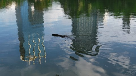 A lizard swimming in a lagoon that reflects the tall buildings of the city