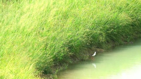 Black-winged Stilt bird stand on water and singing and two baby walking in pond