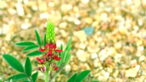 wild red flower lupine stone mountain