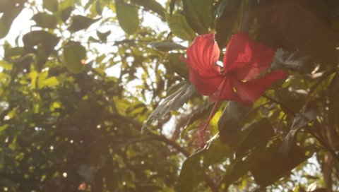 Red hibiscus flower in garden.