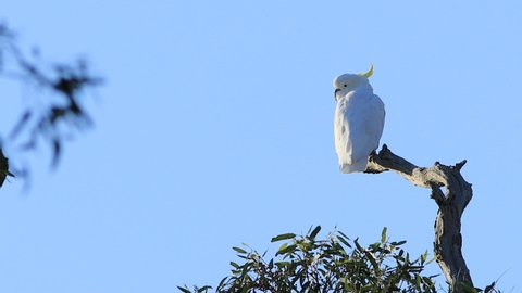 Sulpher-crested Cockatoo, Cacatua galerita, perched in tree