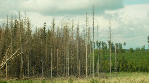 Spruce bark beetle pest Ips typographus, spruce forests infested drought, attacked by the European clear cut calamity caused by bark beetle due to global warming, influence of emissions, dry