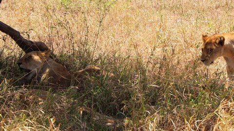 A Lioness Walks to a Shadded Spot Under a Tree and Lays Down Next to a Couple of Other Lionesses in Serengeti National Park in Africa