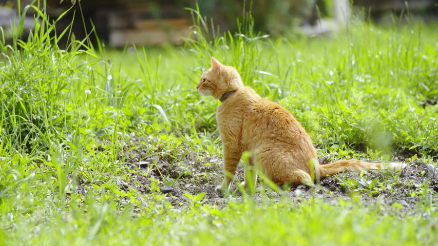 Ginger cat in grass carefully observing surrounding 4K | Shutterstock HD Video #1031108576