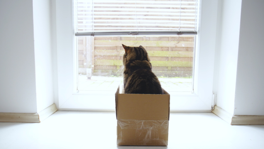 Funny British breed cat in the box looking through window 4K | Shutterstock HD Video #1031108606