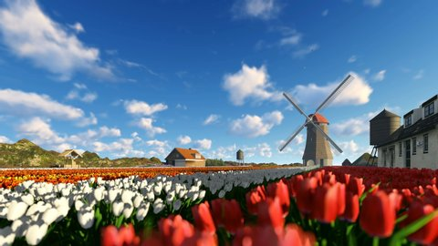 Tulip field near mountan and old wind mill running