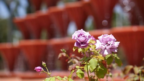 A pink rose in the foreground. The sharpness is shifted to a Fountain with many goblets, over which water flows down. In the Spanish city of Elche at the Palms Park with Sunshine. 4K.