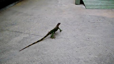 The green iguana (Iguana iguana), also known as the American iguana during daily walk in the park.