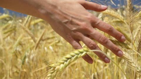 Close up b-roll of female hand touching spikelets of yellow ripe wheat on golden field during sunny autumn day. Spikes of organic rye swaying in wind in slow motion. Harvest season in Larnaca, Cyprus