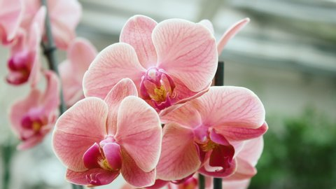 Beautiful Pink Orchid Flowers Blooming In A Botanical Garden In 4K