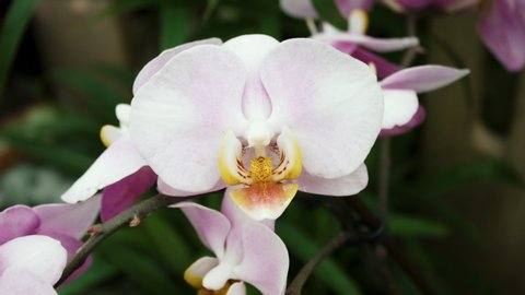 Beautiful White Purple And Pink Orchid Flower Blooming In A Botanical Garden In 4K
