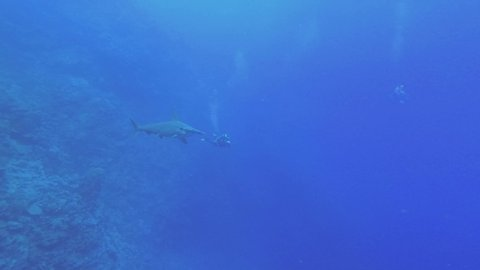 Hammerhead Shark slowly swim in the blue water, two scuba divers looking at her on background. Scalloped hammerhead or Hammerhead shark - Sphyrna lewini, Underwater shots