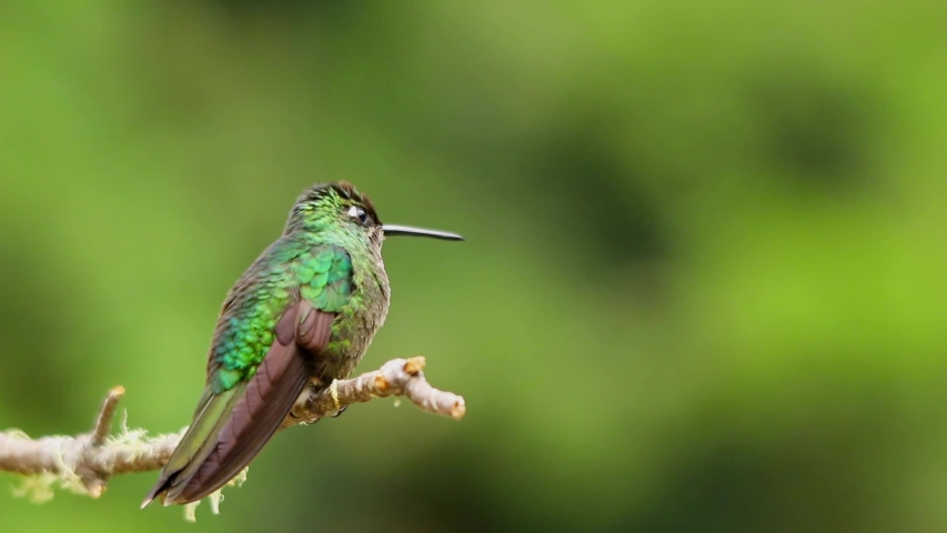 Magnificent Hummingbird sitting on a mossy branch #1032281546