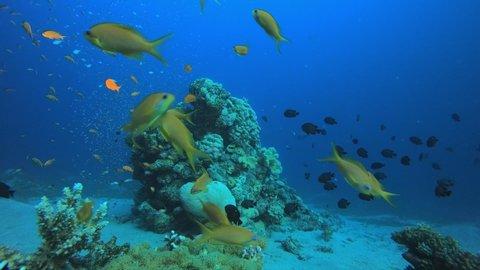 Underwater Sea Tropical Life. Tropical underwater sea fishes. Underwater fish reef marine. Tropical colorful underwater seascape. Soft hard coral broccoli. Reef coral scene. Coral garden seascape.