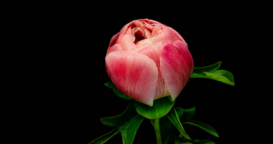 Timelapse of pink peony flower blooming on black background,
