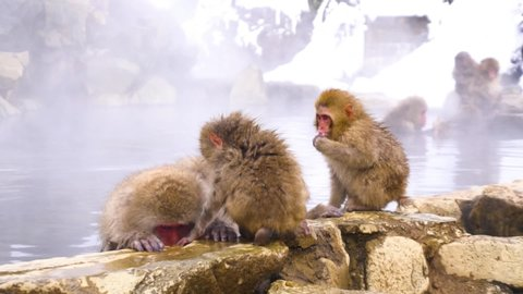 Japanese snow monkey family bathing in hot springs.