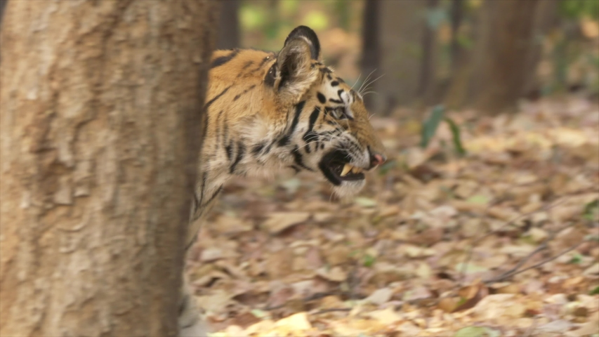 Tiger walking in the jungle  close up  4k