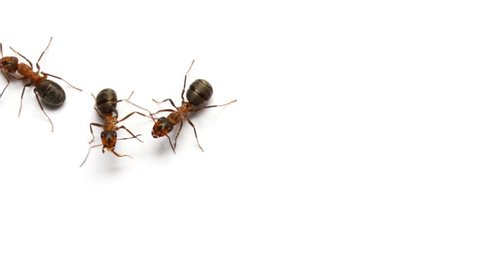 Ants insects walks on white background