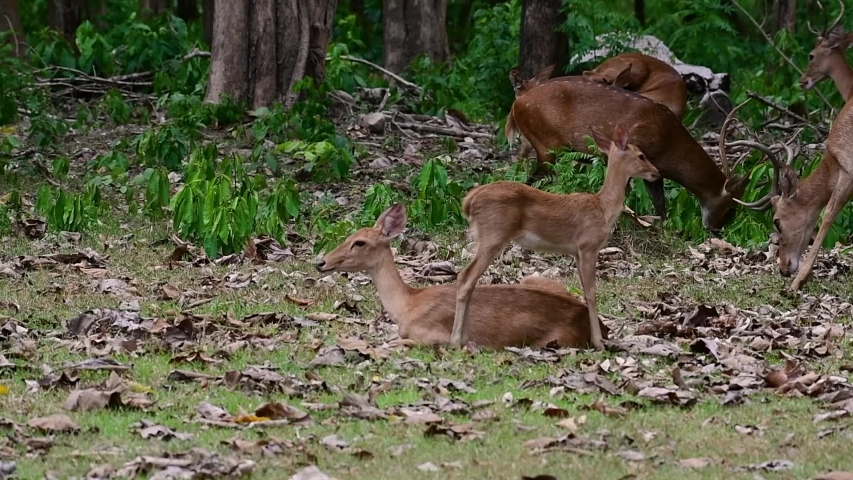 The Eld's Deer is an Endangered species due to habitat loss and hunting;  | Shutterstock HD Video #1033274426