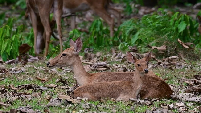 The Eld's Deer is an Endangered species due to habitat loss and hunting;  | Shutterstock HD Video #1033275236