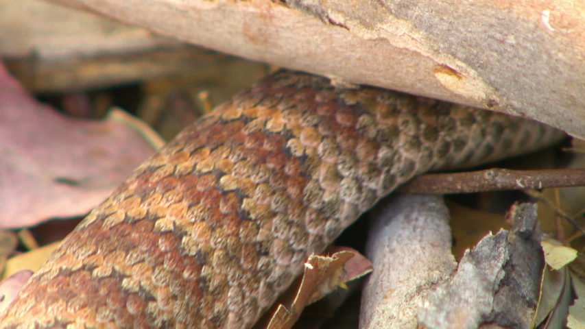 Steady, close up shot of a common death adder (Acanthophis antarcticus) sliding underneath a log. | Shutterstock HD Video #1033320446