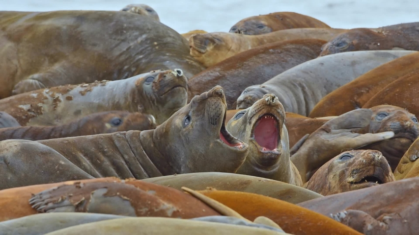 ANTARTICA - CIRCA 2018 -Antarctica Elephant Seals Livingstone Island crowded and calling, closeup. | Shutterstock HD Video #1033382906