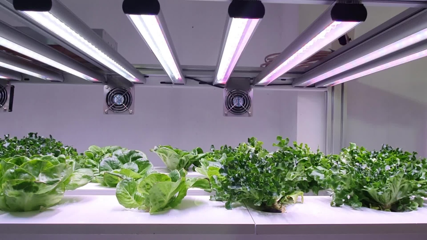 Vegetables are growing in indoor farm/vertical farm. Vertical farming is sustainable agriculture for future food.  | Shutterstock HD Video #1033837016
