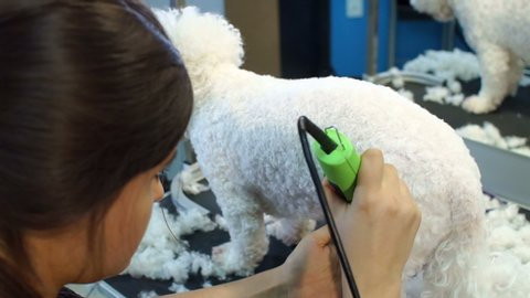 Close-up of a woman trimming a small a dog Bichon Frise with an electric hair clipper. Cutting hair in the dog hairdresser a Bichon Frise. Hairdresser for animals.