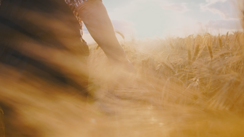 Close up of the Caucasian male hand of the farmer touching and caressing spikes of the golden wheat while he walking his field towards the sun shining. #1034243546