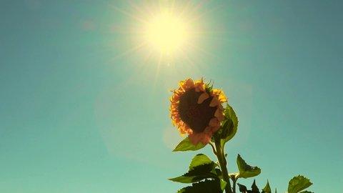 sunflower sunset field dusk sunflower field sun rays natural plant sunflower leaf swaying from wind.Sun rays accompany the sunflower plant. SERIAL VIDEO 1-20