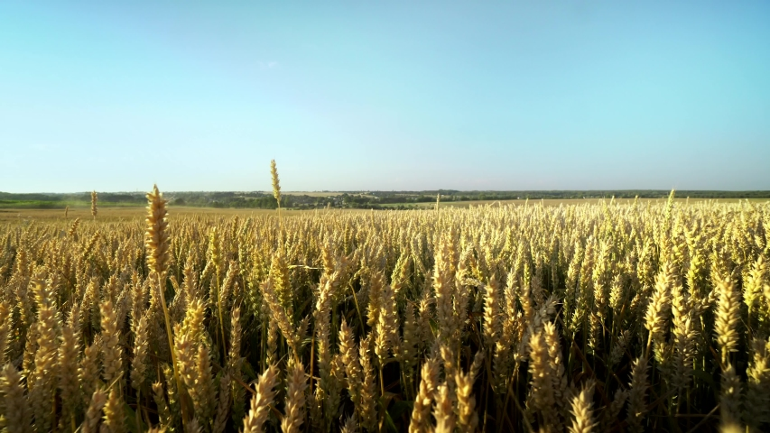 Wheat field. Golden ears of wheat on the field. Background of ripening ears of meadow wheat field. Rich harvest. Agriculture of natural product.   Shutterstock HD Video #1035338606