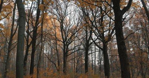 Autumn Golden oak forest, city Park. Change of season autumn, yellowed leaves of trees. Oaks beautiful trees