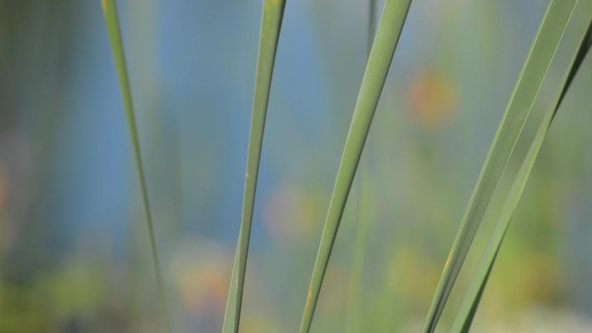 Cattails in a marsh in New Brunswick, Canada | Shutterstock HD Video #1035439226