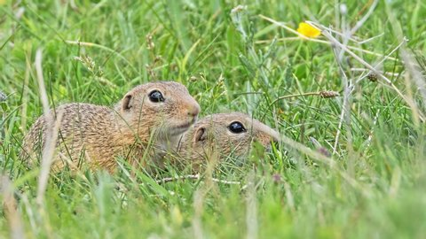 A portrat of Juvenille European Ground Squirrel just leaved their holes.