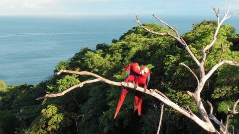 Two Scarlet Macaw Lovebirds Pecking and Biting, Perched on a Dried Up Tree Near Manuel Antonio, Costa Rice Surrounded by Green Tropical Trees and the Pacific Ocean in the Background on a Sunny Day