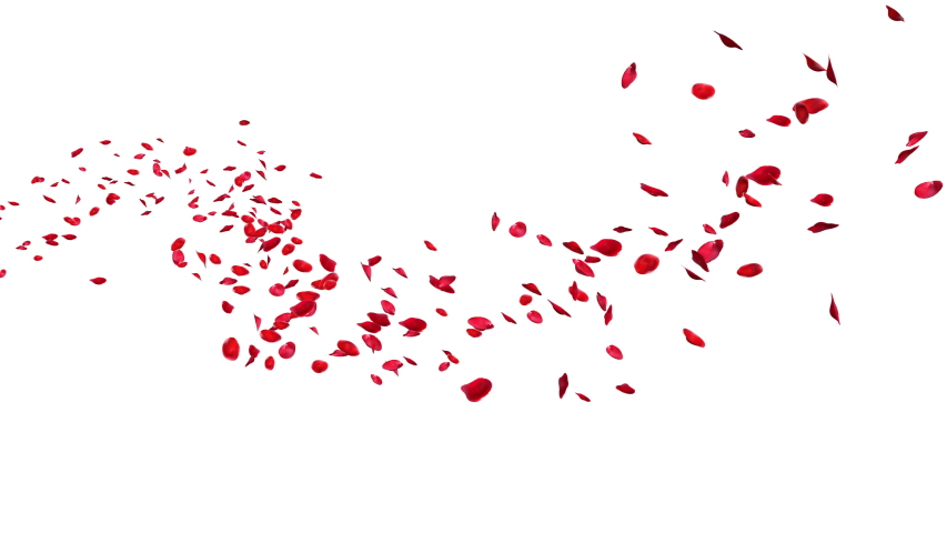 Red rose petals floating in curve flow path on white and black background,3D rendering (Alpha matte)