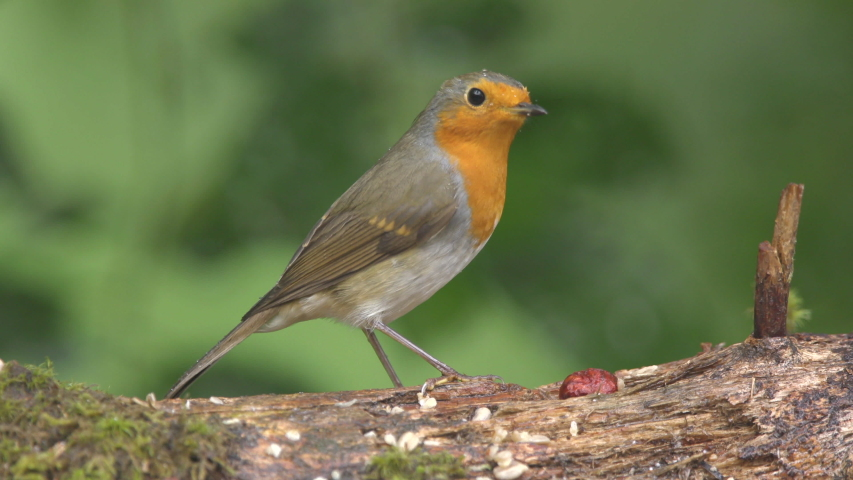 Robin bird animal perched on ground side view beautiful light green background | Shutterstock HD Video #1035924896