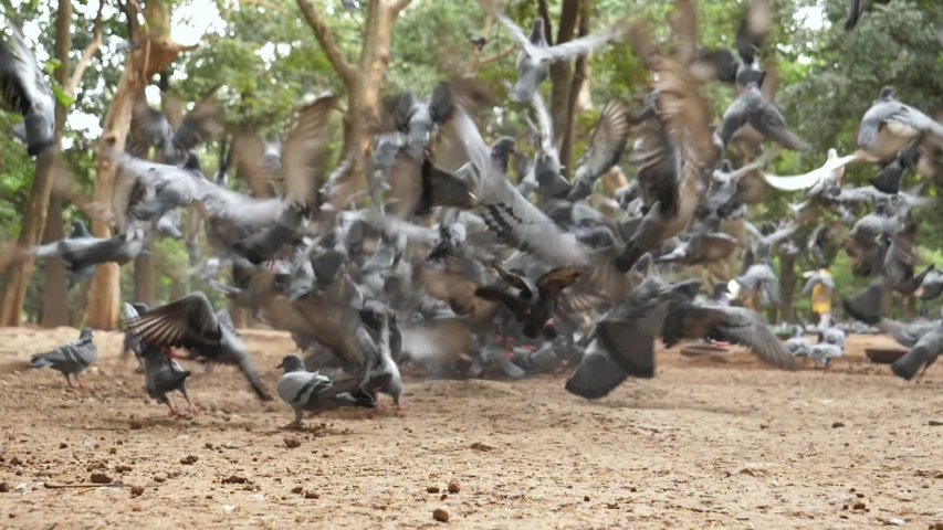 Closeup of a flock of pigeons eating seeds in a park on a cloudy day | Shutterstock HD Video #1036246736