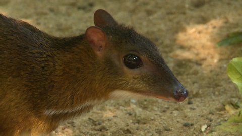 Steady, close up shot of a chevrotain with a snotty nose.