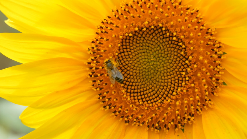 Bee working and gathering pollen from sunflower in field. Field of sunflowers. Sunflower swaying in the wind | Shutterstock HD Video #1036583096