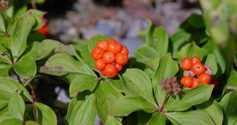 Amos, Québec/Canada 08-24-2019: fruit of Bunchberry (Cornus canadensis), a plant native to Quebec.