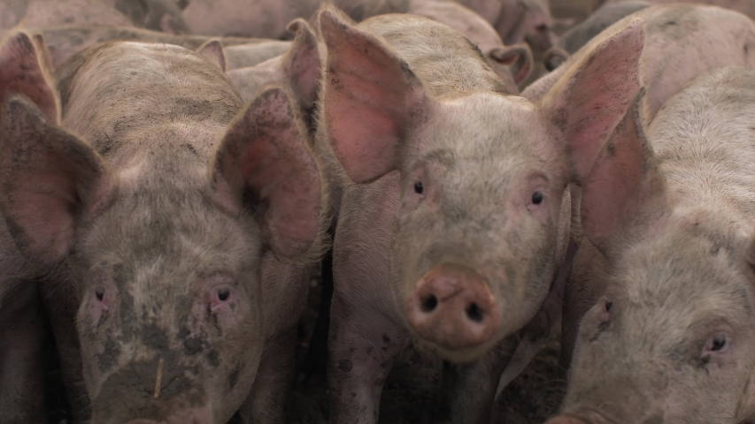 Pigs on a UK farm cinematic slow motion shot | Shutterstock HD Video #1037008976