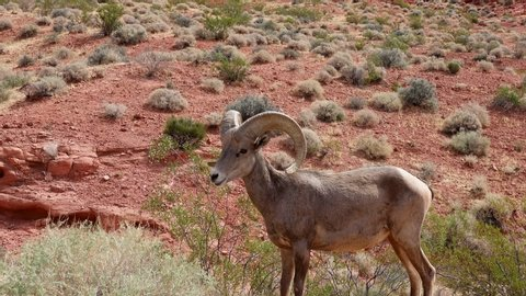 Bighorn sheep standing around Valley of Fire State Park at Nevada