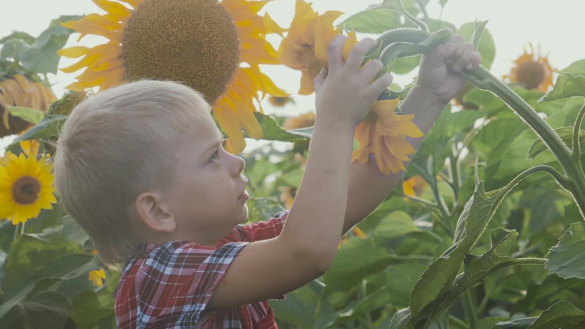 Little boy exploring a field with sunflowers happy family concept slow motion video. sniffs a flower of a sunflower funny video. blond boy farmer works in the field with sunflowers lifestyle   Shutterstock HD Video #1037313386