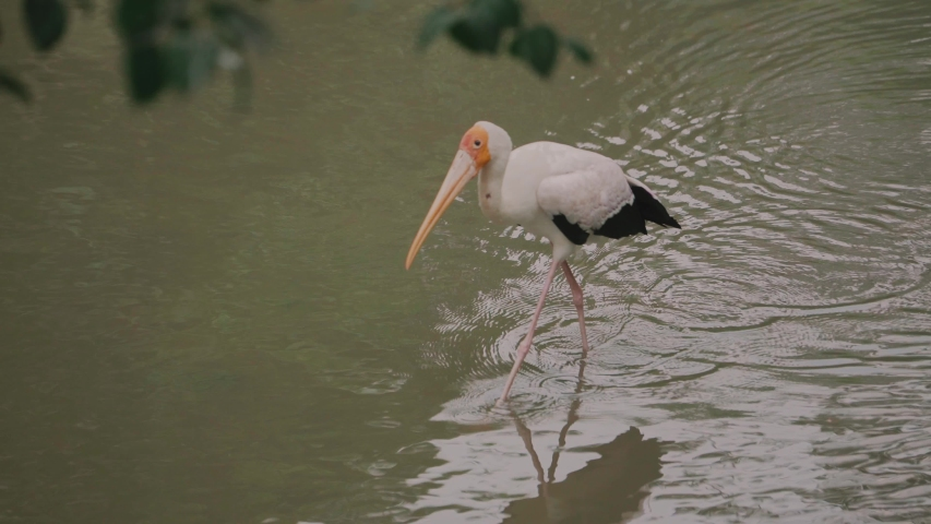Yellow billed stork goes through the water. Waterfowl. Bird in the water | Shutterstock HD Video #1037563826