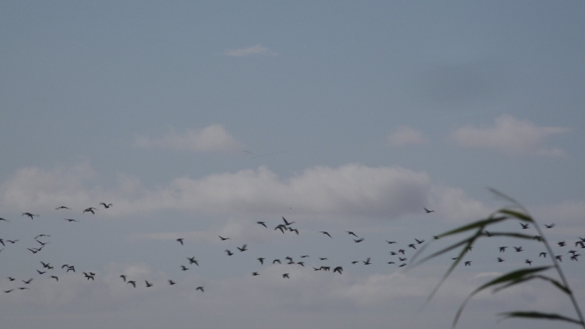 Follow the leader geese flying in the blue sky over head. Taking the lead and teamwork as pink footed geese work together England UK 4K | Shutterstock HD Video #1037567636