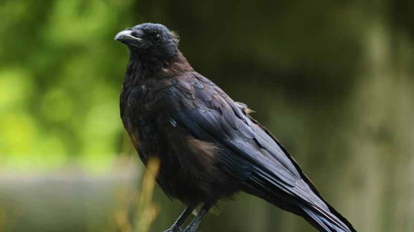 Close up of a raven head sitting down and looking around and than flying away on a sunny day in summer | Shutterstock HD Video #1037877026