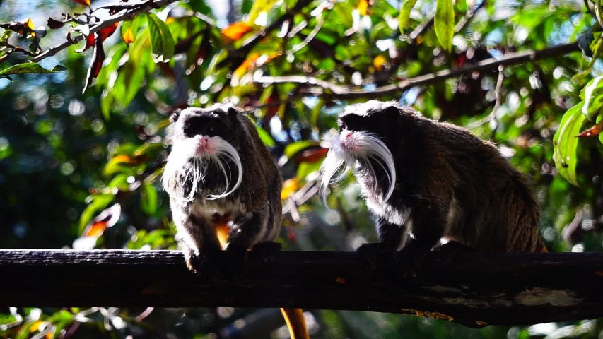 Emperor tamarin (Saguinus imperator) on a branch with plants in the background. it is widespread in a vast area of Amazonian tropical forest ranging from south-eastern Peru to north-western Brazil | Shutterstock HD Video #1038819236