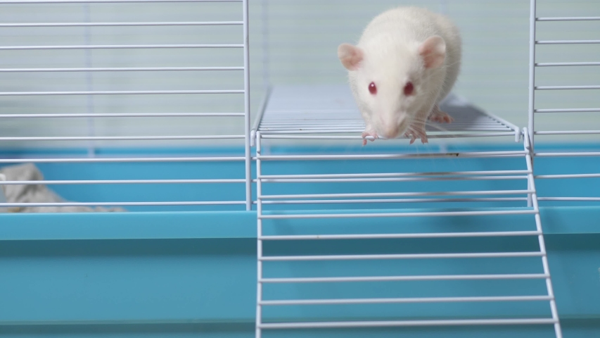White rat in a cage. home pet. animal symbol of the year on the Chinese calendar. | Shutterstock HD Video #1039107146