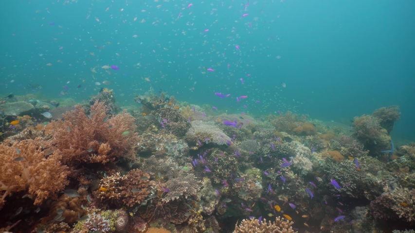 Tropical coral reef seascape with fishes, hard and soft corals. Underwater video. Camiguin, Philippines. Healthy coral reef with variety of fish and underwater wildlife.